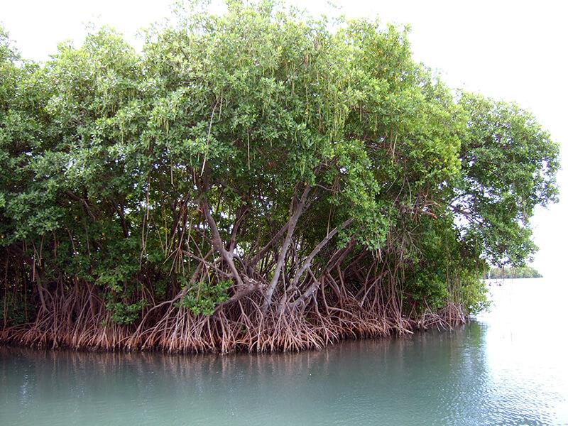"""Bosque de mangle o """"manglar"""""""