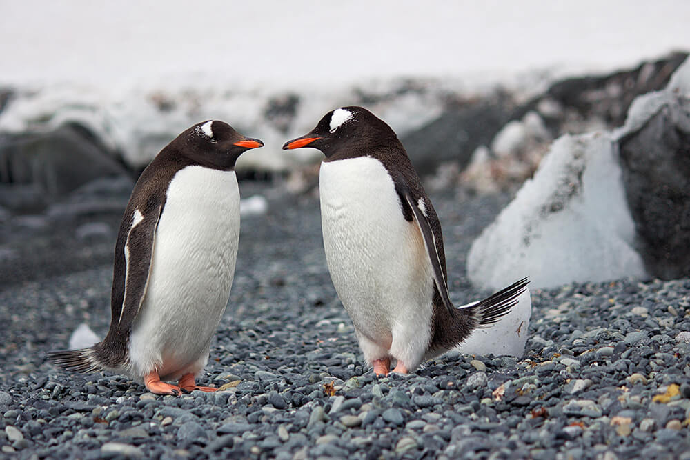 Los pingüinos y su ritual amoroso