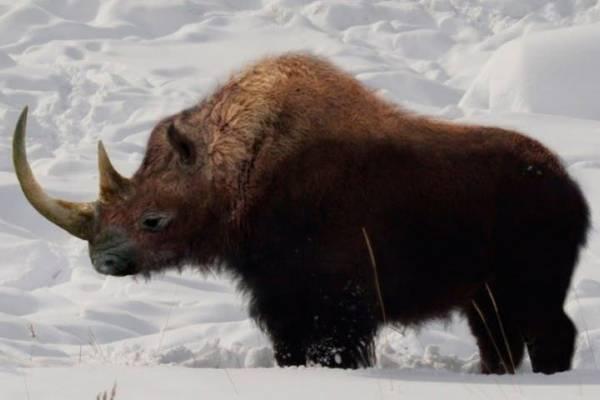 como se extinguieron los rinocerontes lanudos